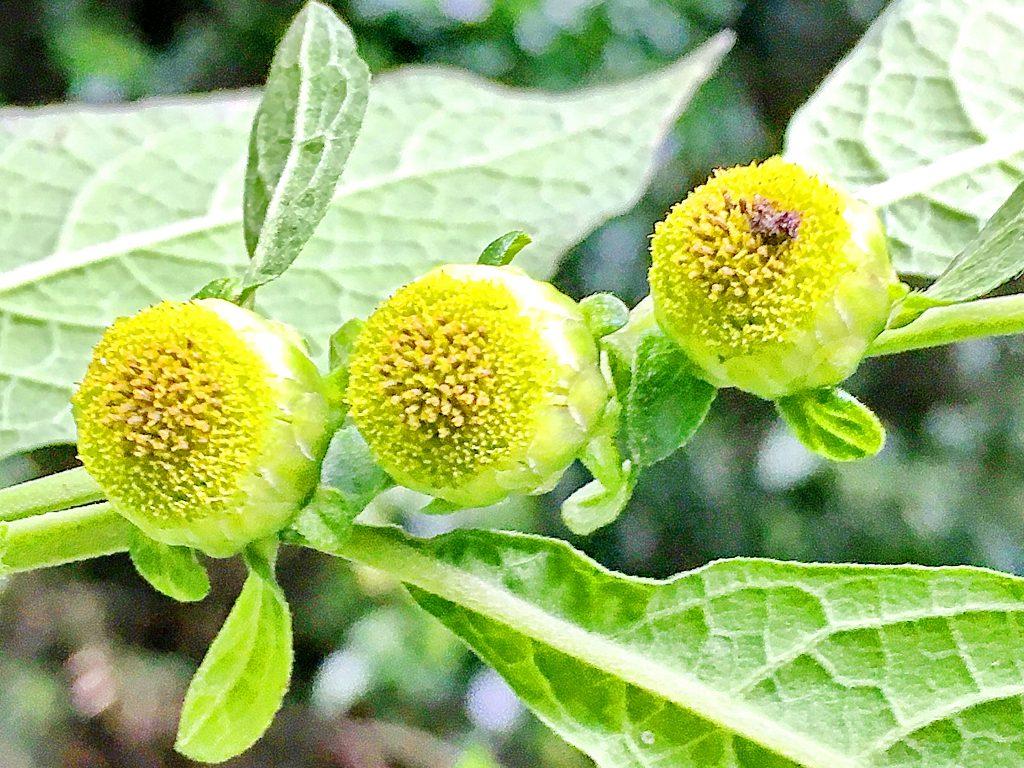 ヤブタバコの花