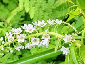 イヌヌマトラノオの花序