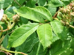ノイバラの葉