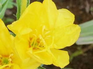 マツヨイグサの花