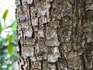 スモークツリーの幹