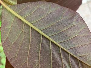 スモークツリーの葉裏