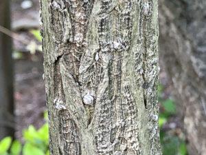タニウツギの幹