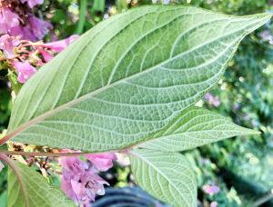 タニウツギの葉裏