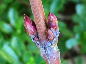 タニウツギの新芽