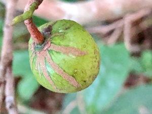チャノキの若い果実