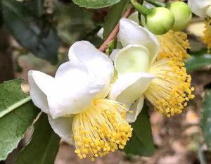 チャノキの花