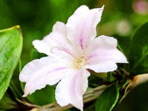 ハクチョウゲの花