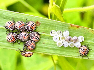 キマダラカメムシの若齢幼虫