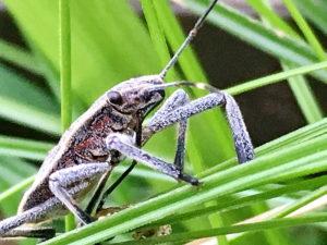 キマダラカメムシの終齢幼虫