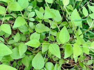 コウヤボウキの葉