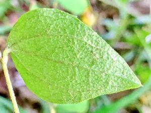 コウヤボウキの葉裏