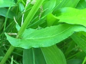 スイバの茎葉
