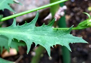 イソトマ・アクシラリスの葉