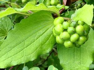 シオデの若い果実