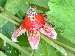 ナワシロイチゴの花床