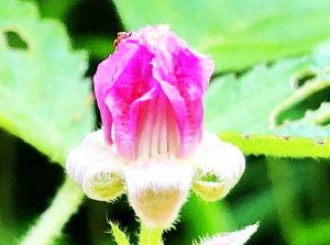 ナワシロイチゴの花