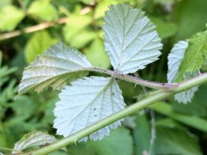 ナワシロイチゴの葉裏