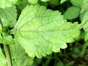 ヤマハッカの葉