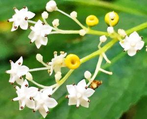 ソクズの花
