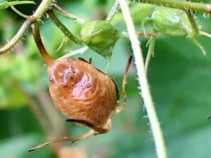 ツリガネニンジンの果実