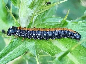 トサカフトメイガの幼虫