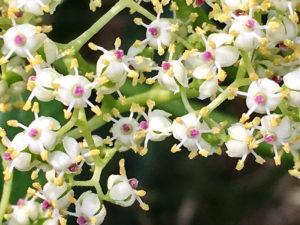 ニワトコの花