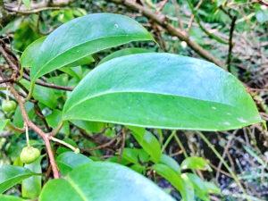 サネカズラの葉