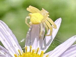 アズチグモ♀黄色い個体