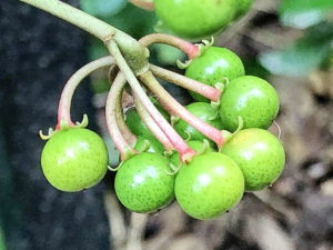 カラタチバナの若い果実