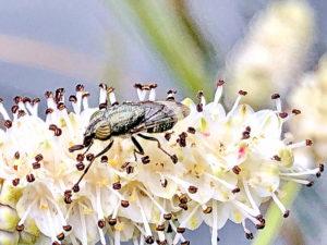 ナガボノシロワレモコウにツマグロキンバエ