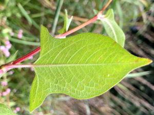 オオミゾソバの葉裏