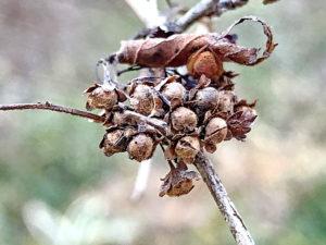 コゴメウツギの果実