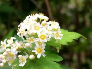 コゴメウツギの花