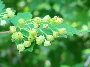 コゴメウツギの若い果実