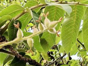 オニグルミの若い果実