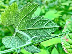 カラスウリの葉裏