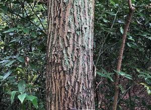 ヒメグルミの幹