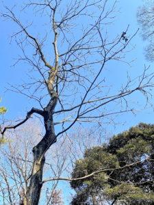 ヒメグルミの樹形