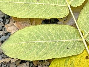 ヒメグルミの葉裏