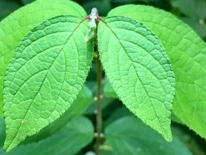 マルバウツギの葉