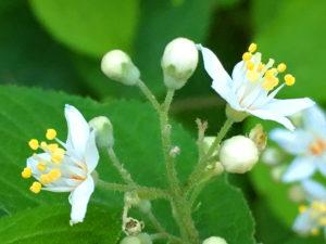 マルバウツギの花