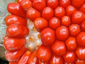 ムサシアブミの果実