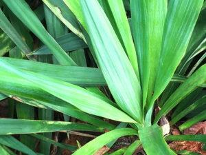 ユッカ・アツバキミガヨランの葉