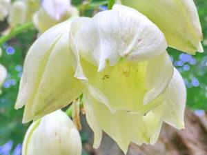 ユッカ・アツバキミガヨランの春の花