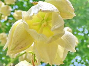 ユッカ・アツバキミガヨランの花