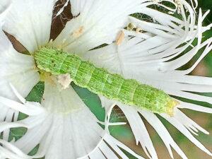 カワラナデシコに幼虫
