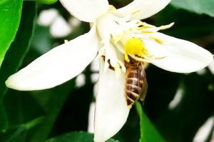 シマハナアブとレモンの花