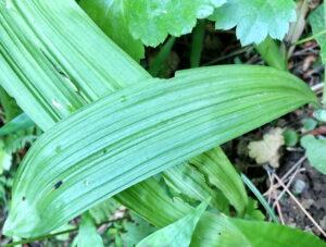 シュロソウの葉
