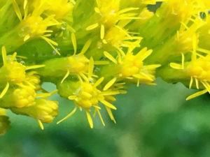 セイタカアワダチソウの花